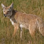 Tips for Living With Dogs in Coyote Country