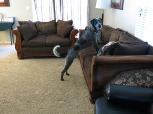 Dog Climbing on Couch
